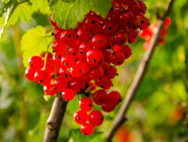https://wildislandgin.com/cms/wp-content/uploads/2017/12/redcurrants.jpg